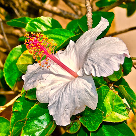 Native Hawaiian White Hibiscus by Doug Wean - Flowers Single Flower ( white flower, maui, hibiscus, single flower, nature close up, hawaii, flower, flower photography )