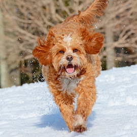 Cavapoo playing in the snow by Steven Liffmann - Animals - Dogs Running ( lenny, wet dog, happy, snow, puppy, cavapoo, cute, dog, closeup )
