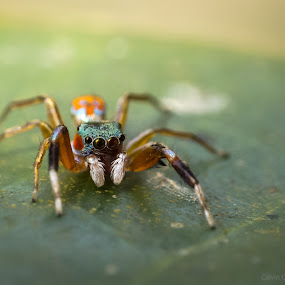 3mm Spider by Calvin Chan - Animals Insects & Spiders ( spider )