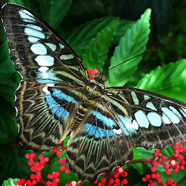 Clipper butterfly  by Amrita Bhattacharyya - Animals Insects & Spiders