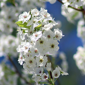 White Blossoms #2 by Tony Huffaker - Flowers Tree Blossoms ( tree, white, flowers, spring, blossoms )