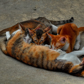 Family  by Aung Kyaw Soe - Animals - Cats Kittens