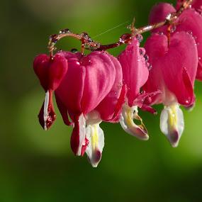 Heart-throbs  by Pamela Zeng - Flowers Flower Gardens (  )