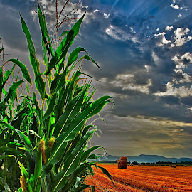 Corn and wheat fields ... by Joseph Muller - Landscapes Prairies, Meadows & Fields ( corn and wheat fields ... )