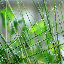 Drops on Grass by Hal Gonzales - Nature Up Close Leaves & Grasses ( grass, green, drops, dew drops, shape )