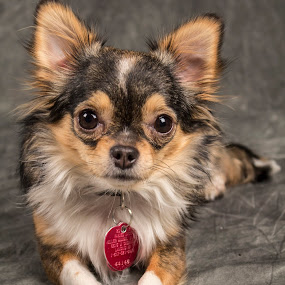 Luna by Amber Johnston - Animals - Dogs Portraits ( dog, chihuahua )