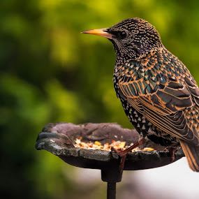 The Starling by Phil Robson - Animals Birds ( bird, uk, starling, plumage, feathers )