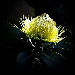 Protea by Johann Fouche - Flowers Single Flower ( national flower, yellow, single flower, protea, flower,  )