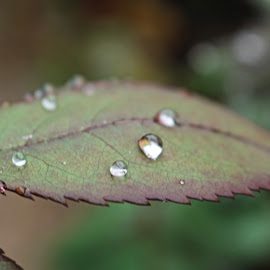 Morning Dew by Meeta Thakur - Nature Up Close Gardens & Produce ( june, dew, nature up close, morning, close up, photography,  )