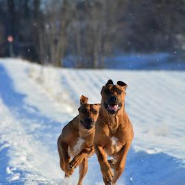 Full speed ahead  by Cecilia Hjärtmyr - Animals - Dogs Running ( sweden, dogs, chasing, rhodesianridgeback, landscape, siblings, running, ridgeback, playing, love, sister, amazing, kumla, winter, nature, nikond5200, snow, brother, nikon, actionphoto )