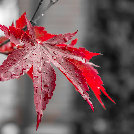 Red Lives by Marin Alexandru - Nature Up Close Leaves & Grasses ( selective colour, nature, nature up close, livestock, live )