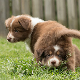 two headed by Marjan Smit - Animals - Dogs Playing ( playing, grass, brown, bordercollie, garden, tri )