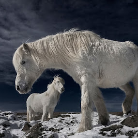 Partners by Bragi Ingibergsson - Animals Horses ( animals, iceland, horses, brin, bragi j. ingibergsson )