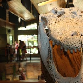 Alligator Skull by Drew Emond - Novices Only Objects & Still Life ( skull, mount, bones, alligator, teeth )