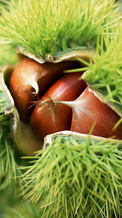 Chestnuts. Nature wallpapers - screenshot