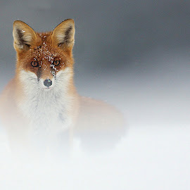 Under the snow by Gérard CHATENET - Animals Other Mammals