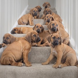 Pups on Stairs by Linda Johnstone - Animals - Dogs Puppies ( rhodesian ridgeback, puppies, stairs, black eyes, cute )