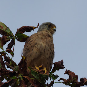 Young Male Kestral by Graham Coulson - Animals Birds