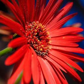 Gerbera II by Sudheer Hegde - Nature Up Close Flowers - 2011-2013 ( orange, flora, green, beauty, yellow, sudheer, petel, bokeh, macro, red, nature, color, blue, india, focus, nikon, flower, closeup )