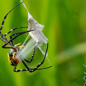 WRAPPING by Repindo Nasution - Animals Insects & Spiders ( macro, wildlife )