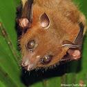 Short-nosed fruit bat