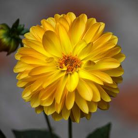 Yellow Harmony by Andrius La Rotta Esquivel - Flowers Single Flower ( harmony, beautiful, amazing, flowers, charming, yellow flower, single flower, photography, flower )
