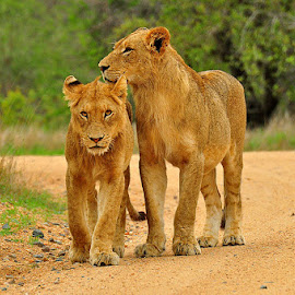 Two brothers by Maxim Kovtun - Animals Lions, Tigers & Big Cats ( lion, kruger national park, south africa, lions )