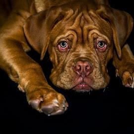 Kegger by Michele Dan - Animals - Dogs Puppies ( wrinkles, bordeaux mastiff, dog portrait, mastiff, puppy, dog, puppy portrait )