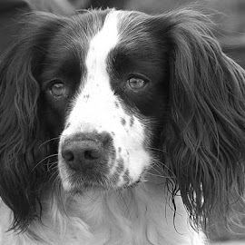 by Chrissie Barrow - Black & White Animals ( monochrome, black and white, pet, cocker spaniel, dog, mono, portrait, animal )