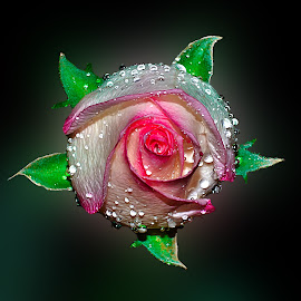 rose by Hafiz Ursa - Nature Up Close Gardens & Produce ( water, spiral water drops rose, d3100, white pink rose, green leaf, 50mm, water droplet, rose with water, water drops rose, rose, white rose, nikon d3100, single flower, beautyful rose, pink rose, nikon, spiral rose )