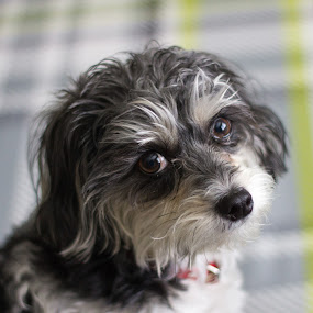 Sophie by Devin Rieger - Animals - Dogs Portraits ( bed, white, puppy, dog, schnoodle, black )