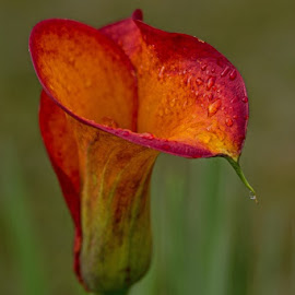 Morning Dew by Gwen Paton - Flowers Single Flower