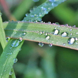Rain drops on grass by Carolyn Lawson - Nature Up Close Natural Waterdrops