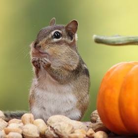 chipmunk with hands together near pumpkin.jpg