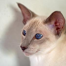 Mischief by Warren Keith Dick - Animals - Cats Portraits ( cat, blue eyes, feline, kitty, portrait,  )