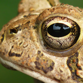 Toad's Eye View by Josh Mayes - Animals Amphibians ( macro, toad, close-up, eye )