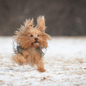 Flying Yorkie by Shelley Paterson - Animals - Dogs Running ( dog yorkshire terrier fun running )