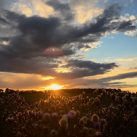 Thistle Sunset by Cory Zurcher - Landscapes Sunsets & Sunrises ( countryside, clouds, color, sunset, weeds, rural )