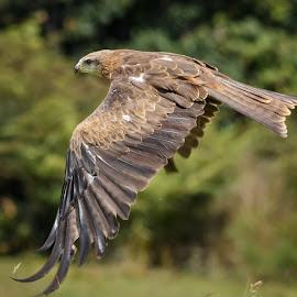 Flying Kite by Cora Lea - Animals Birds (  )
