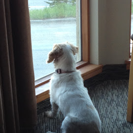 Waiting by the window by Amber O'Hara - Animals - Dogs Portraits ( mountains, window, female, white, brown, view, dog, lilly )