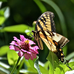 The life of a butterfly by Victoria Eversole - Animals Insects & Spiders ( pink flower, butterfly, garden,  )