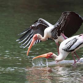 water splash by Praveen Premkumar - Animals Birds ( life, splash, catch, wildlife, birding )