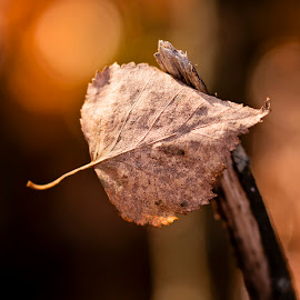 autumn leaf by Mona Martinsen - Nature Up Close Other Natural Objects