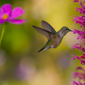 hummer 15 by Brandon Downing - Animals Birds ( bird, macro, nature, broad tailed hummingbird, fine art, wildlife, flower )