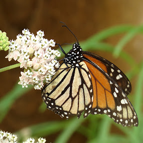 Monarch by Erika  Kiley - Novices Only Wildlife ( butterfly, pollenation, monarch, flower )