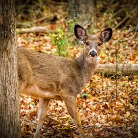 front yard deer in indiana by Lennie Locken - Animals Other Mammals