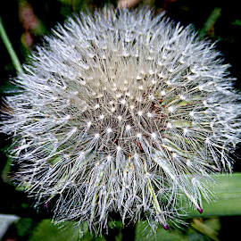 Make a Wish by Kenneth Cox - Nature Up Close Other plants ( dandelion, seeds, dandelions, spring, springtime,  )