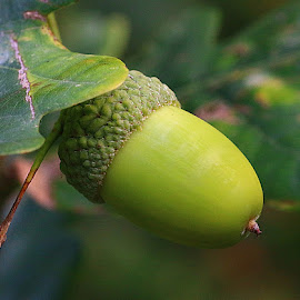 Peeping Out by Chrissie Barrow - Nature Up Close Other Natural Objects ( cup, macro, nature, oak, green, nut, leaf, closeup, acorn )