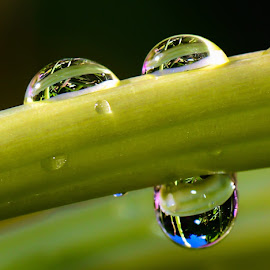 Refracting Waterdrops by Steve Munford - Nature Up Close Natural Waterdrops ( macro, nature, flora, flowers, waterdrops )