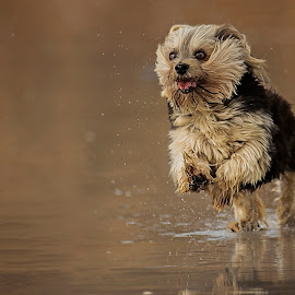Out the blocks by Joe Nieuwoudt - Animals - Dogs Running ( reflection, yorkshire terrier, happy, beach, dog, running, yorky )